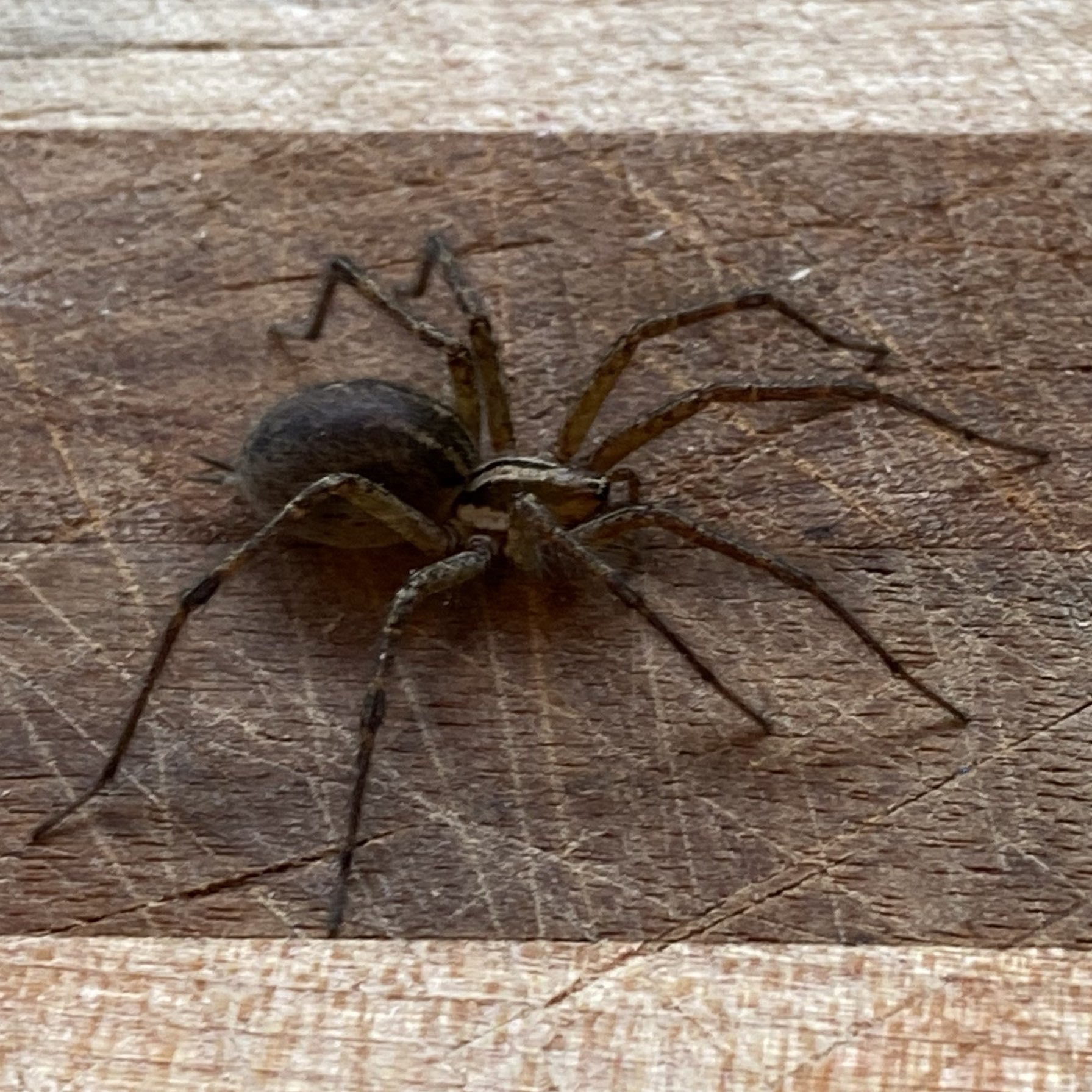 large brown spider on a cutting board