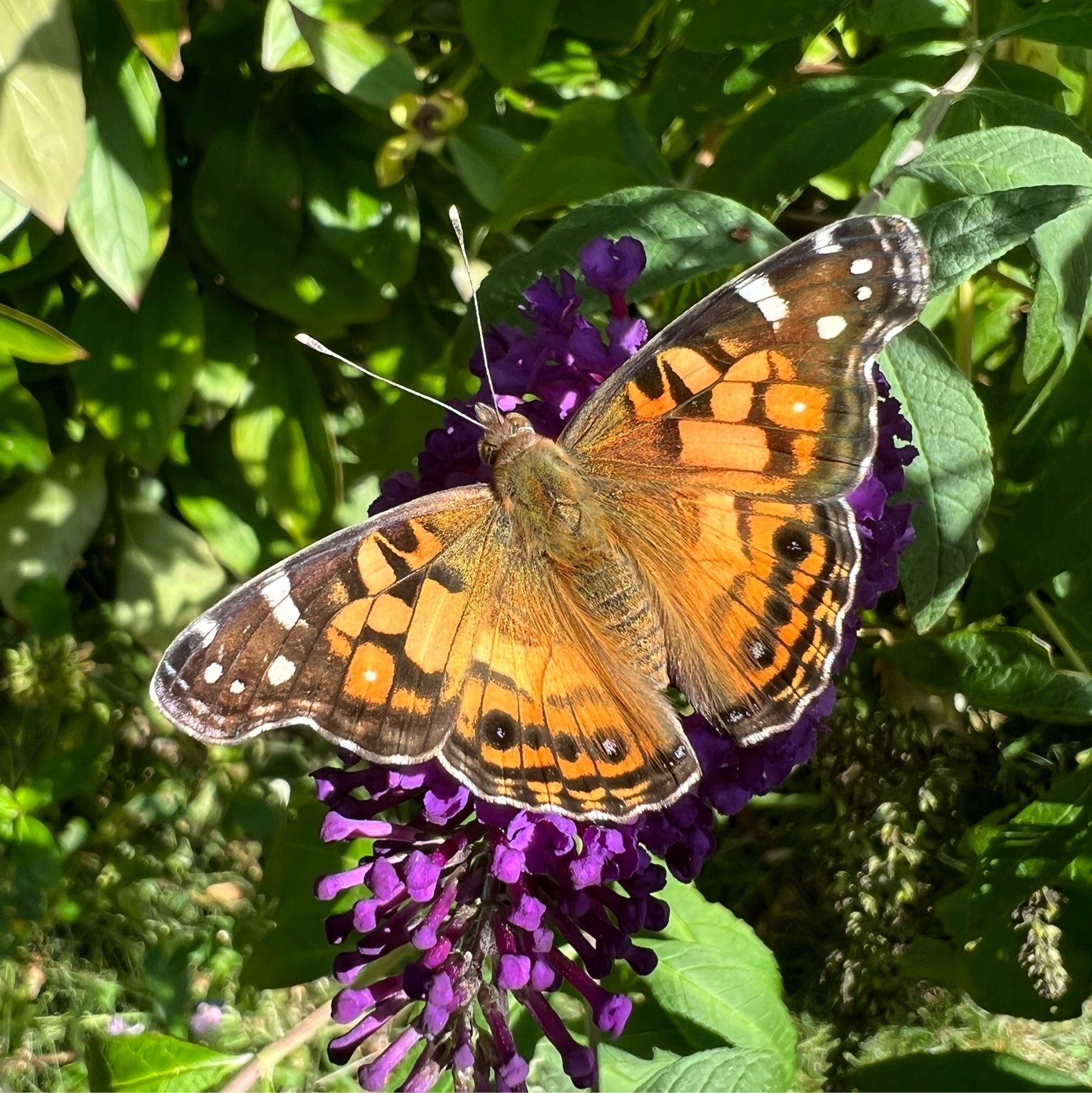 close up picture od an orange and black butterfly against a purple flower