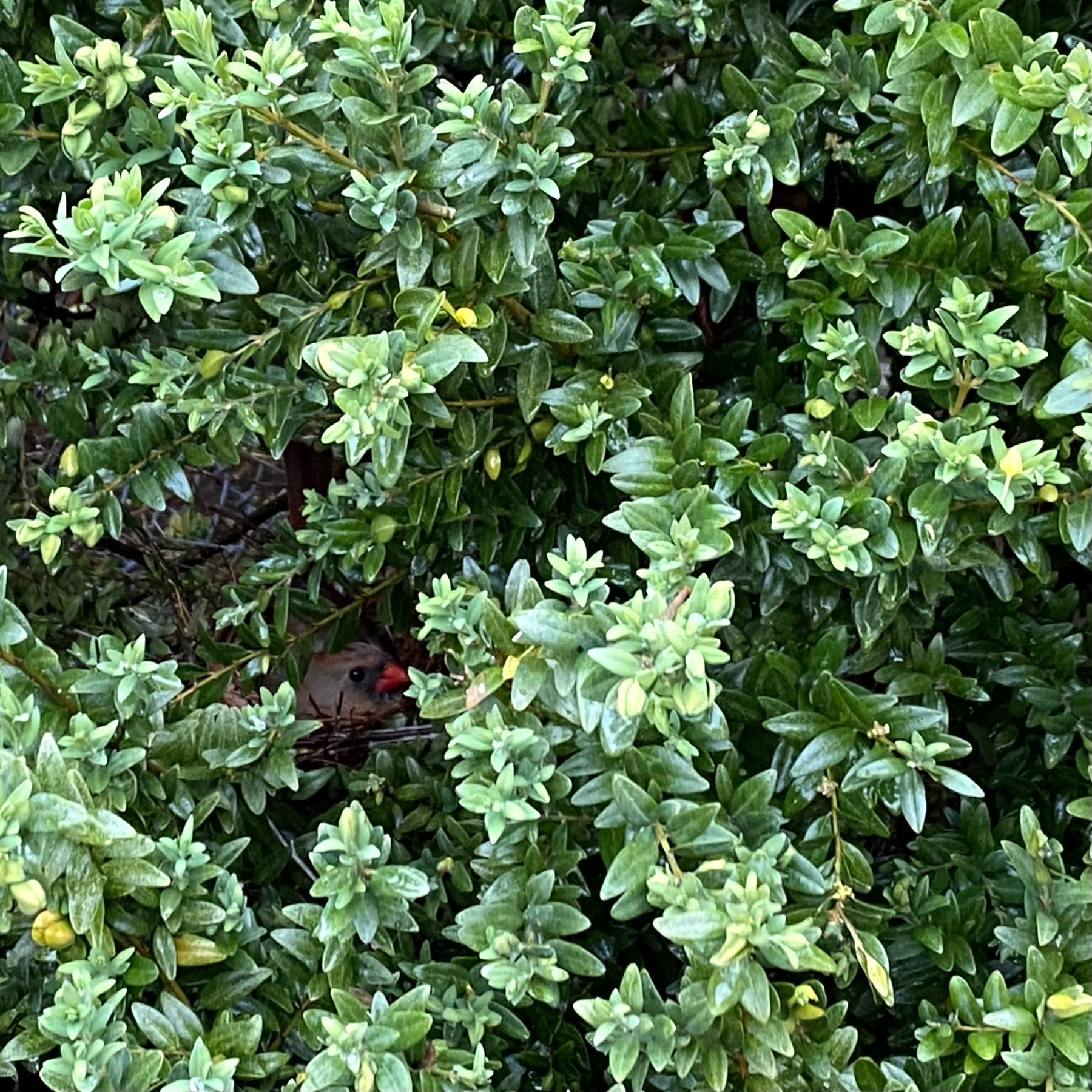 photo of a green bush with a tiny cardinal head poking out